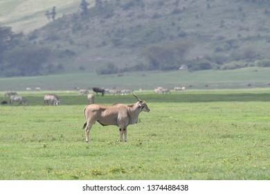 Elan in Serengeti