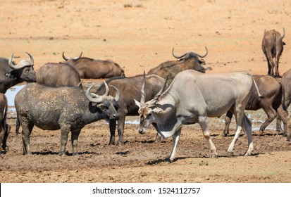 An Eland antelope at a busy waterhole in Southern African savannah