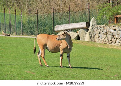 eland antelope male (Taurotragus oryx)  on green grass in the ZOO