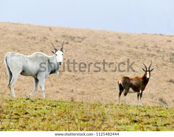 Eland antelope in natural habitat - Swaziland