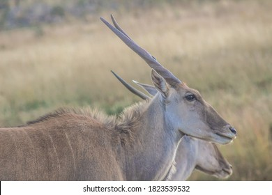 Eland antelope portrait in a South African nature reserve