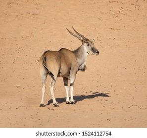 An Eland antelope in Southern African savannah