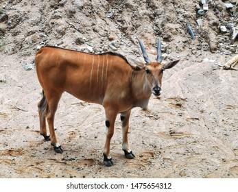 eland antelope standing on mounds