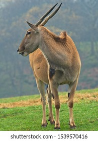 Eland Antelope (Taurotragus oryx) It is one of the largest antelopes, these animals are very difficult to approach.