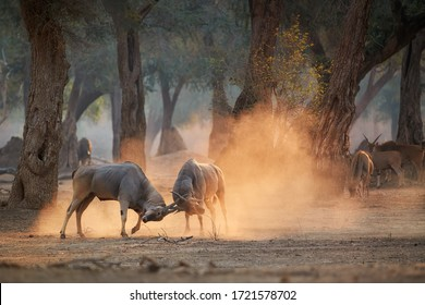Eland antelope, Taurotragus oryx, two males fighting in an orange  cloud of dust, illuminated by morning sun. Low angle,  animals in action, wildlife photography in Mana Pools, Zimbabwe.