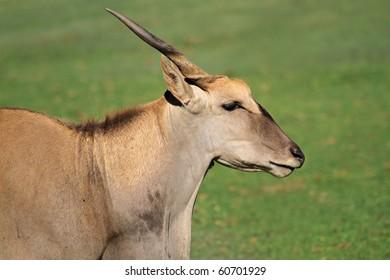 Eland antelope (Tragelaphus oryx) - largest antelope of southern Africa