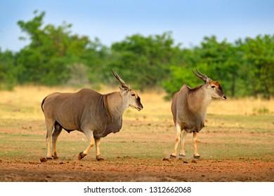 Eland anthelope, Taurotragus oryx, big brown African mammal in nature habitat. Eland in green vegetation, Kruger National Park, South Africa. Wildlife scene from nature.