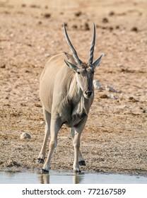 An Eland bull drinking at a watering hole in Namibian savanna