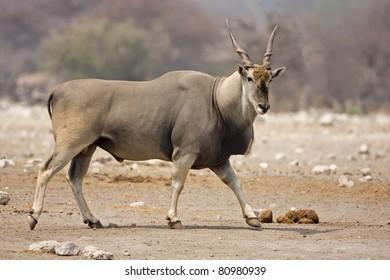 Eland bull walking on rocky terrain;Taurotragus oryx