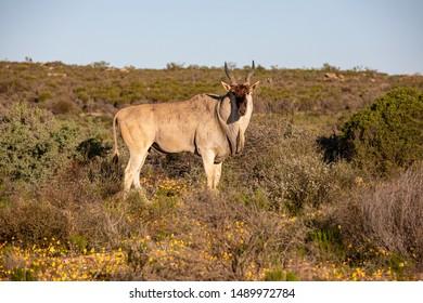 Eland in the Cederberg Mountains