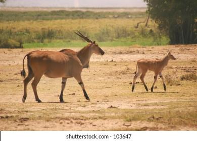 Eland cow & calf 1,04