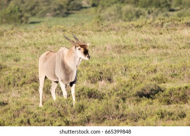 Eland looking right on safari in South Africa