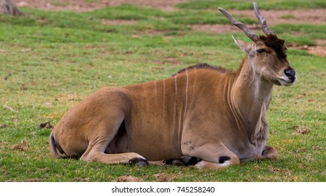 An eland lying down on the grass