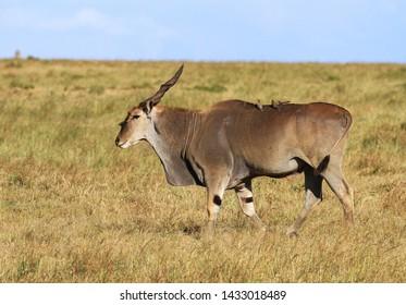 Eland male Taurotragus oryx with oxpecker birds on back walking green grass Masai Mara National Reserve Kenya East Africa