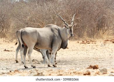 eland near waterhole, Etosha national Park, Ombika, Kunene, Namibia. True wildlife photography