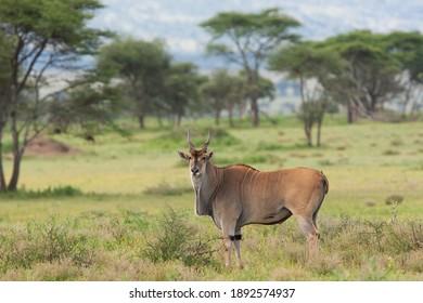 Eland in the Serengeti National Park