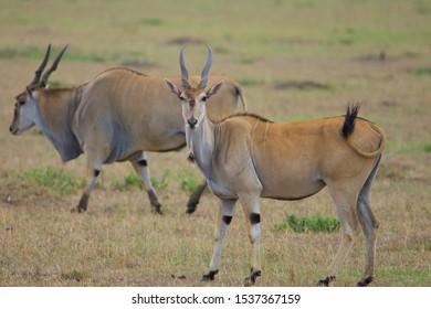 Eland Standing in savanna of masai mara, another eland on background , Kenya, Africa. Side view
