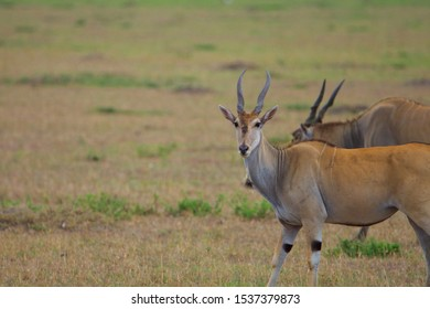 Eland Standing in savanna of masai mara, with another eland on background , Kenya, Africa. Side view