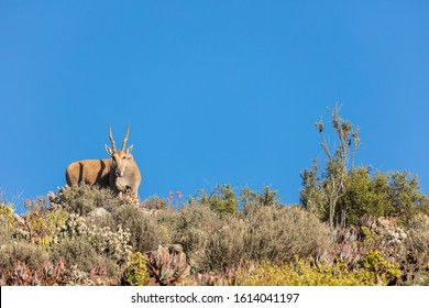 Eland (Taurotragus oryx) in typical karoo vegetation. Karoo, Western Cape, South Africa