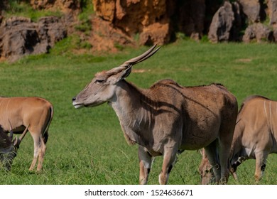 an eland walking and grazing in a green meadow