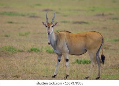 Eland walking through grass, large antelope, on green grass land , masai mara