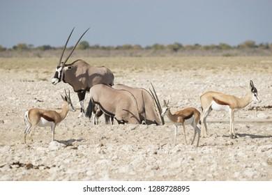 Elans and Antilopes in Etosha national park pan Namibia