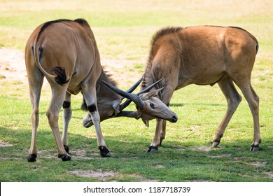 Elans fighting with their horns