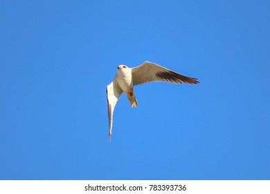 Elanus / Black-winged kite raptor bird flying around hula lake with blue sky background.