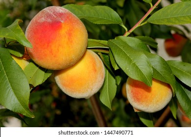 Elberta Yellow Peach, Prunus persica `Elberta`, fruit tree with pink flowers, large yellow fuzzy fruits flushed with red firm yellow freestone flesh, less sweeter than white peaches with acidic tang.