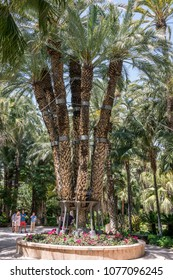 Elche, Spain - april 20, 2018Ancient specimen of palm tree, known as Imperial Palm Tree in the Huerto del Cura in the urban center of the city