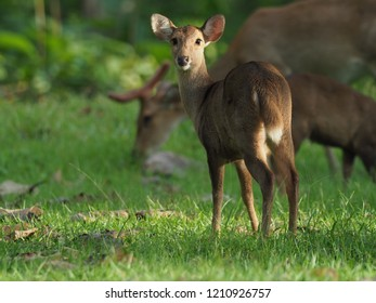 Eld deer in the forest