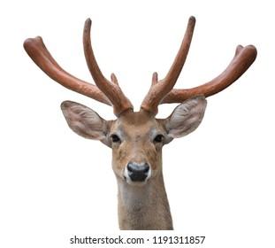 eld deer (Rucervus eldi) head isolated on white background