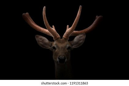 eld deer (Rucervus eldi) head in dark background