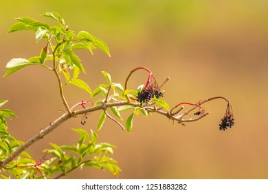 Elder or elderberries Sambucus growing in bright sunlight during summer in a green forest