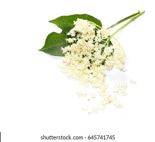 The Elder or Elderberry (Sambucus nigra) isolated on white background