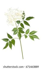 fleurs plus anciennes sur fond blanc