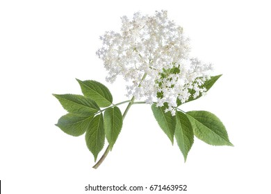 elder flower blossoms on a white background