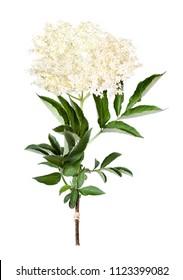 Elder flower, sambucus