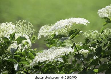 Elder flower (Sambucus nigra)