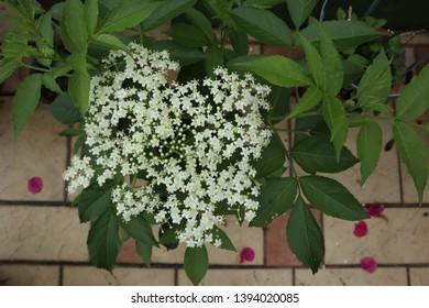 Elder flower from sri lanka