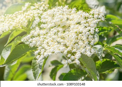 Elder flowers. Elderberry blossom.