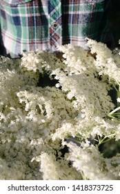 Elder flowers in the female hands