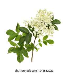 Elder flowers and foliage isolated against white