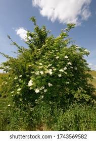 Elder - Sambucus   Bush with white flowers