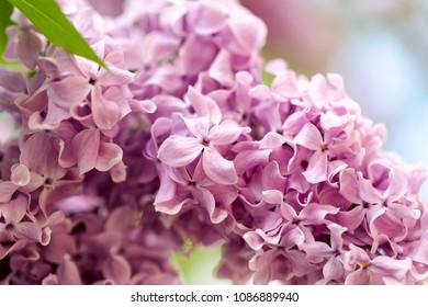 Elder (Sambucus nigra) known as elderberry, black elder, flowers in ultra violet vivid colour. Extreme macro, full frame shoot.