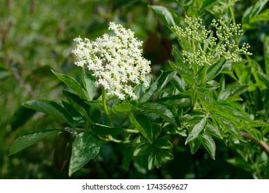 Elder - Sambucus  White flowers & leaves