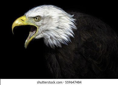 The Elder Statesman. A high contrast image of an old American bald eagle. Many connotations of political power and senate. A fierce national bird with political undertones.
