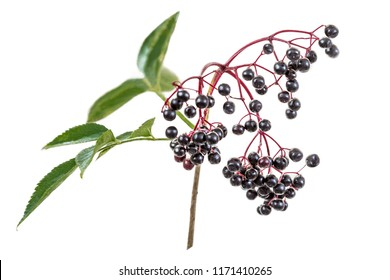 elderberry, black elder, European elder, European elderberry and European black elderberry.