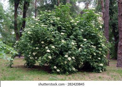 elderberry blossom bush