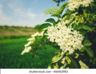 Elderberry blossom, close-up . Elderberry flowers , outdoor nature background. Elderberry flowers , outdoor nature